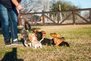 Boarding Dachshund Puppies