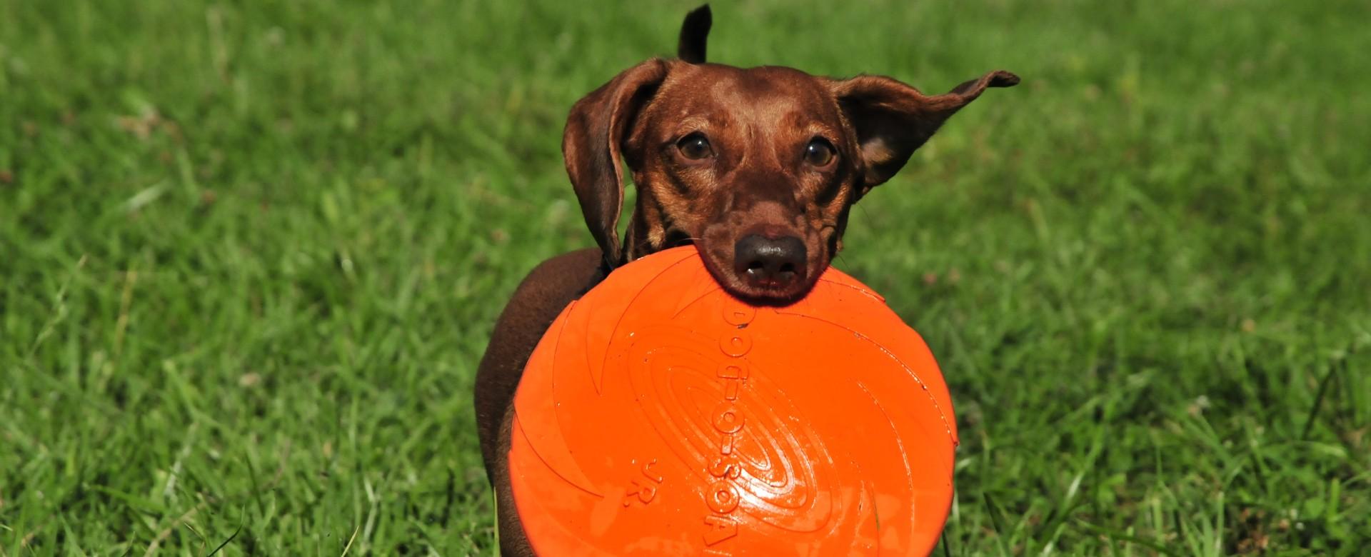 Dachshund with frisbee